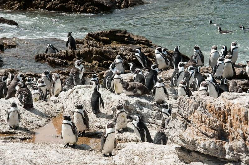 Zoomed out penguin colony
