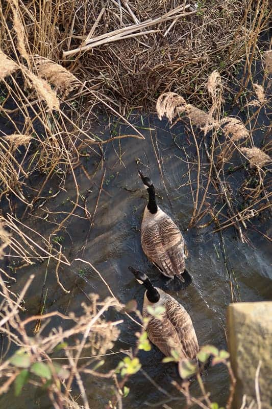 Photographing geese through foliage to test focus